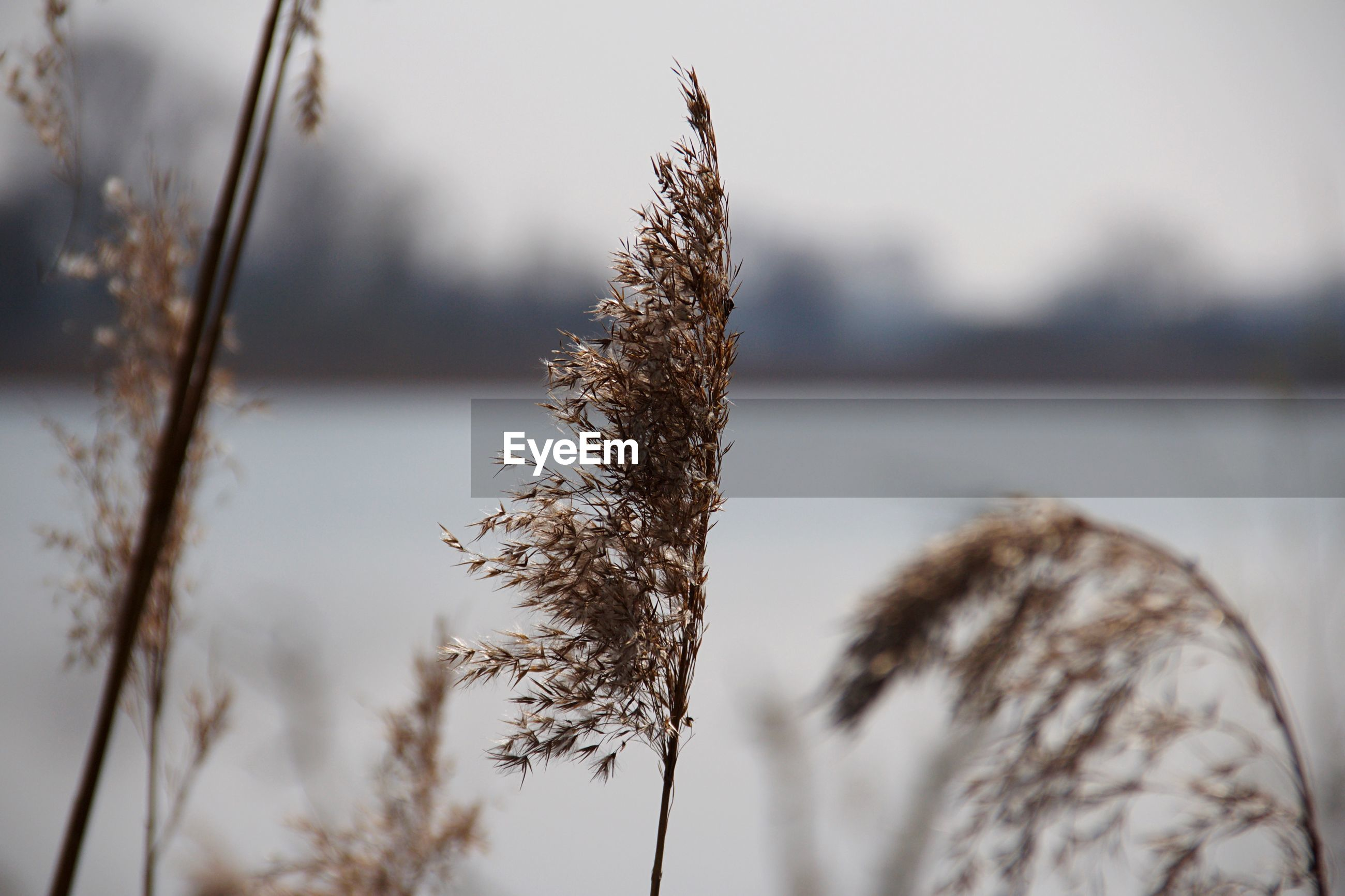 CLOSE-UP OF DRIED PLANT ON SNOW COVERED FIELD