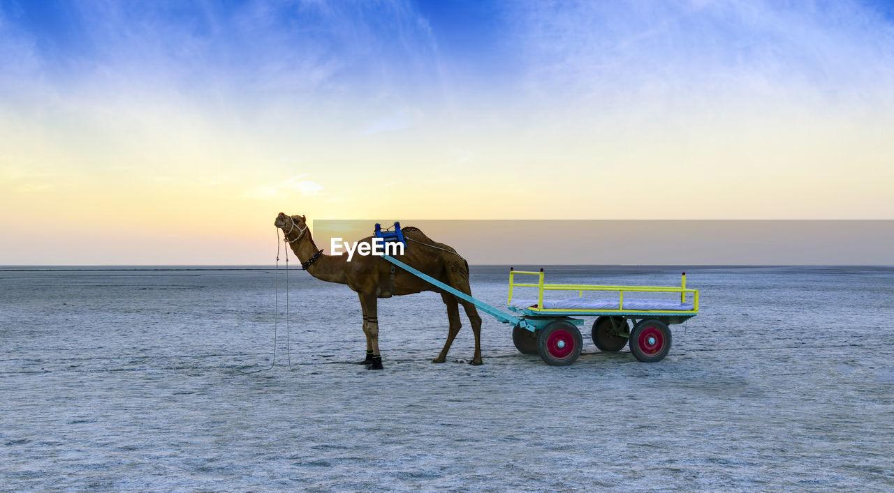 Camel Cart In Desert