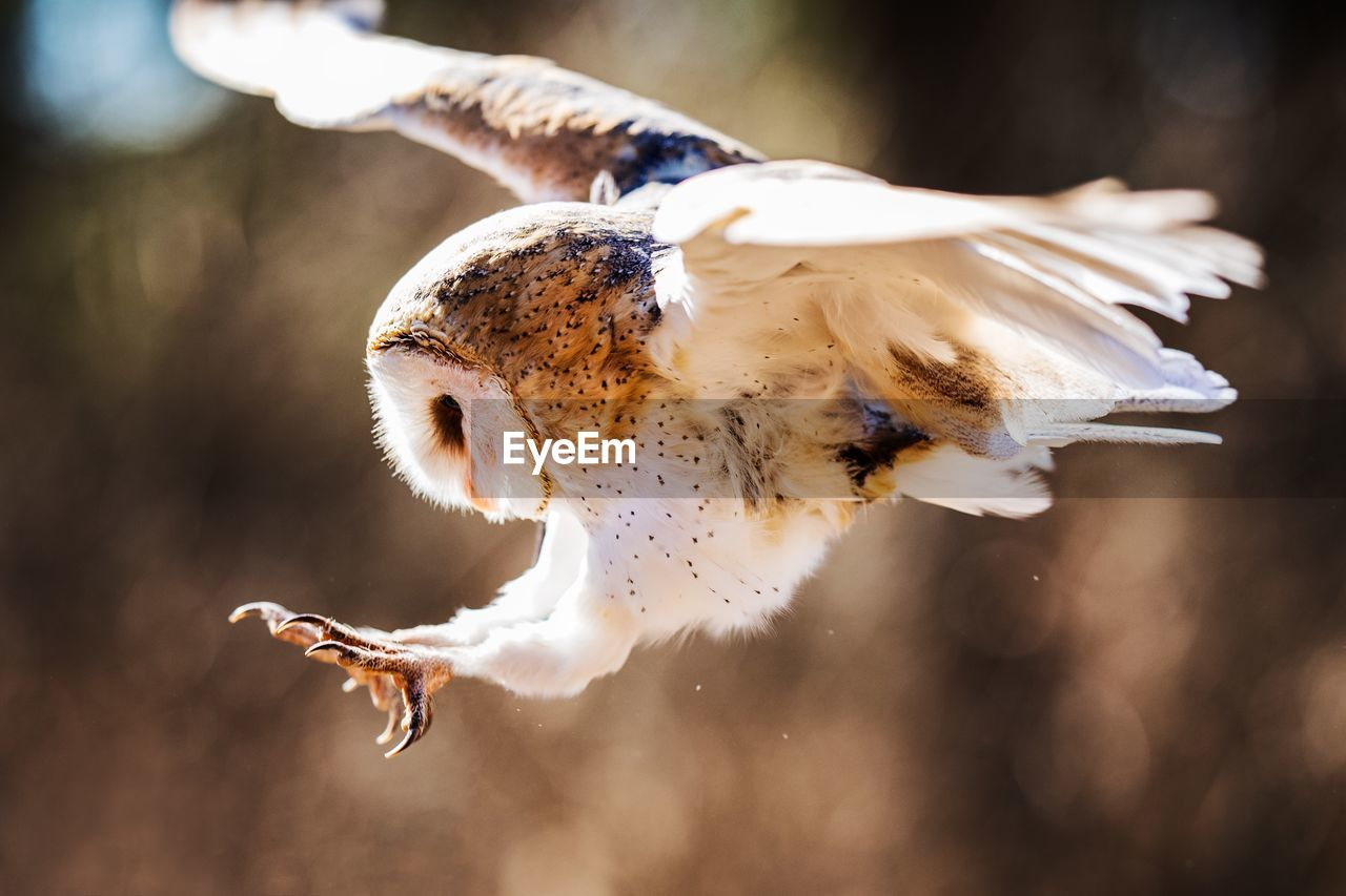 Close-Up Of Barn Owl Flying In Mid-Air