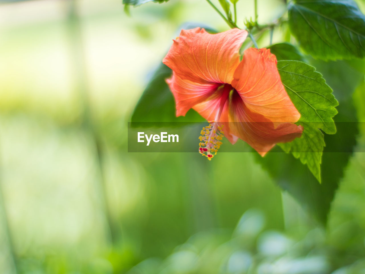 flowering plant, flower, fragility, vulnerability, beauty in nature, plant, growth, petal, freshness, flower head, close-up, inflorescence, hibiscus, red, green color, nature, focus on foreground, day, no people, pollen, pollination