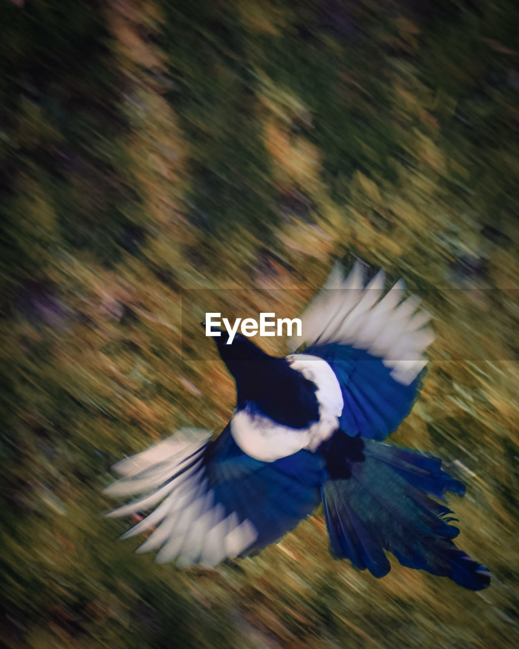 animal themes, flying, animals in the wild, animal wildlife, one animal, animal, bird, spread wings, vertebrate, blurred motion, motion, no people, nature, day, mid-air, beauty in nature, outdoors, blue, speed, focus on foreground, flapping