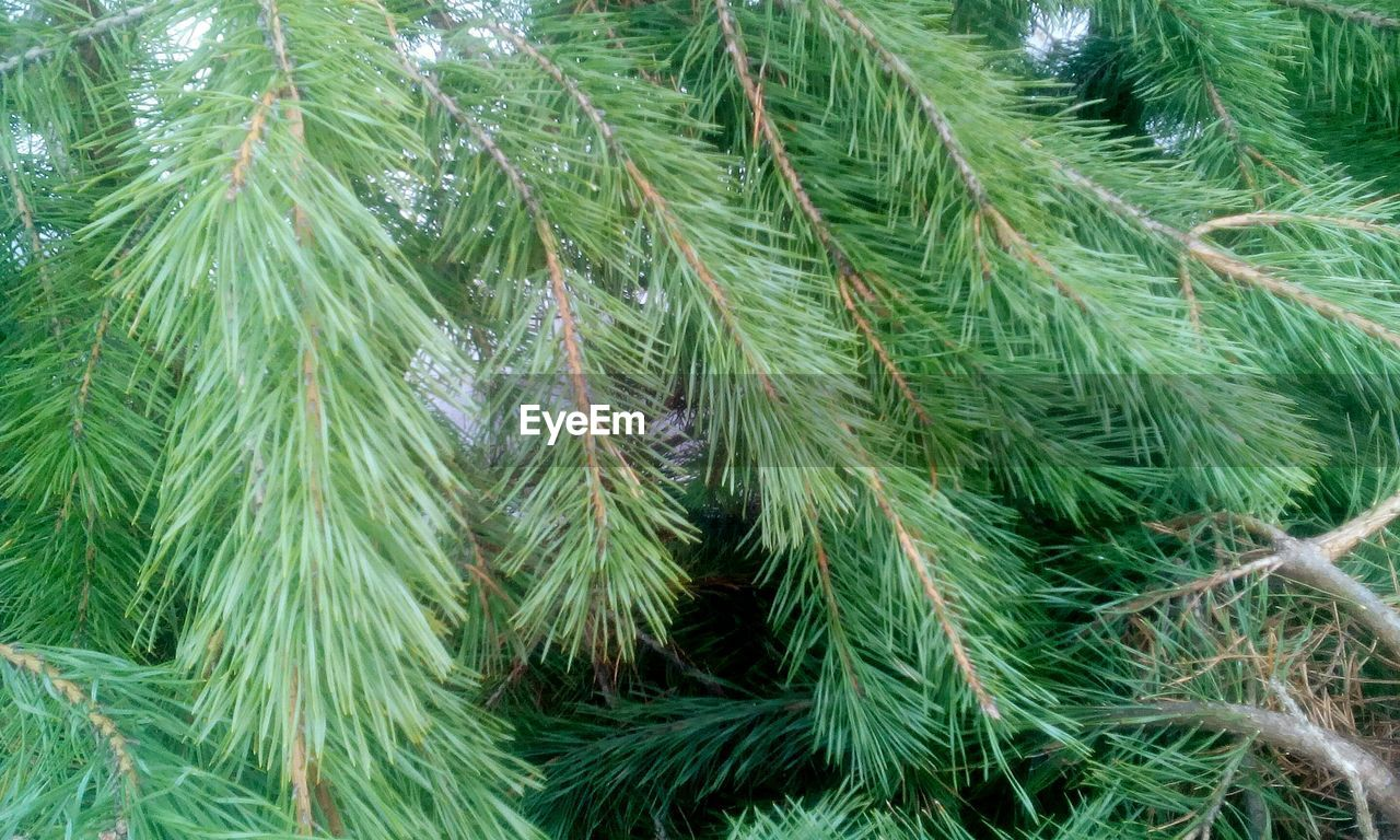 green color, growth, no people, nature, needle - plant part, full frame, pine tree, close-up, high angle view, backgrounds, plant, christmas, outdoors, beauty in nature, day, needle, leaf, branch, spruce tree, tree, freshness