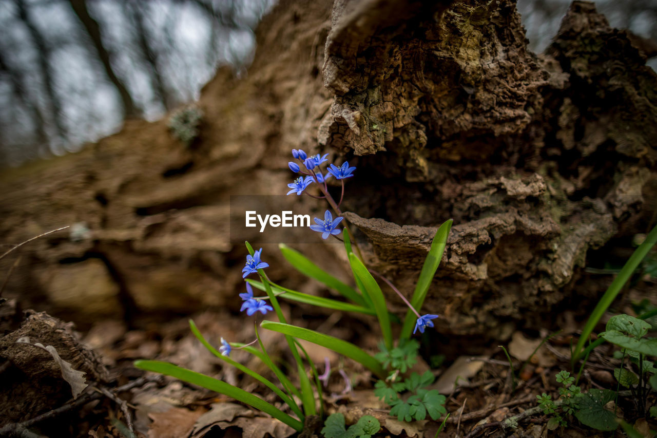 flowering plant, flower, plant, fragility, freshness, beauty in nature, nature, vulnerability, growth, close-up, petal, rock, land, day, no people, selective focus, rock - object, field, inflorescence, outdoors, flower head, purple