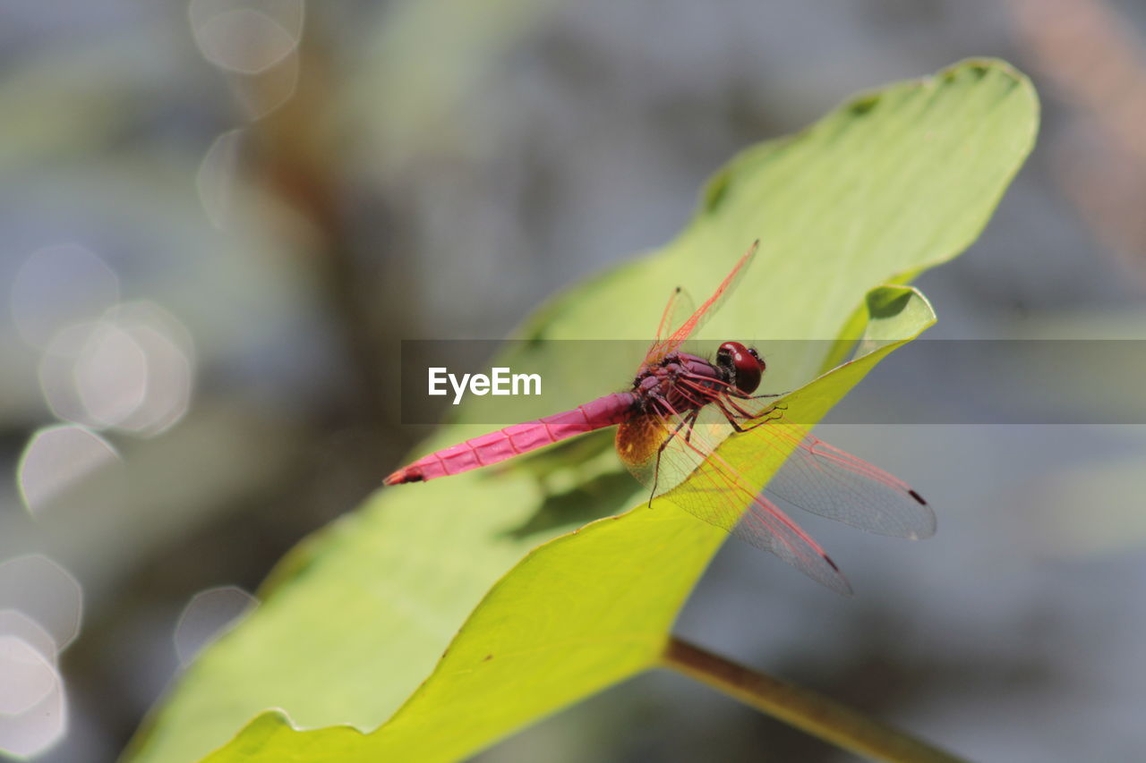 insect, invertebrate, animals in the wild, animal wildlife, animal themes, animal, one animal, plant part, leaf, close-up, day, green color, focus on foreground, plant, nature, selective focus, no people, outdoors, zoology, beauty in nature, animal wing