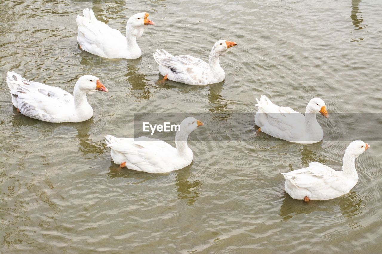 group of animals, bird, animals in the wild, vertebrate, animal, water, animal themes, animal wildlife, lake, swimming, waterfront, no people, day, nature, swan, high angle view, water bird, beauty in nature, large group of animals, duck, flock of birds, animal family, cygnet
