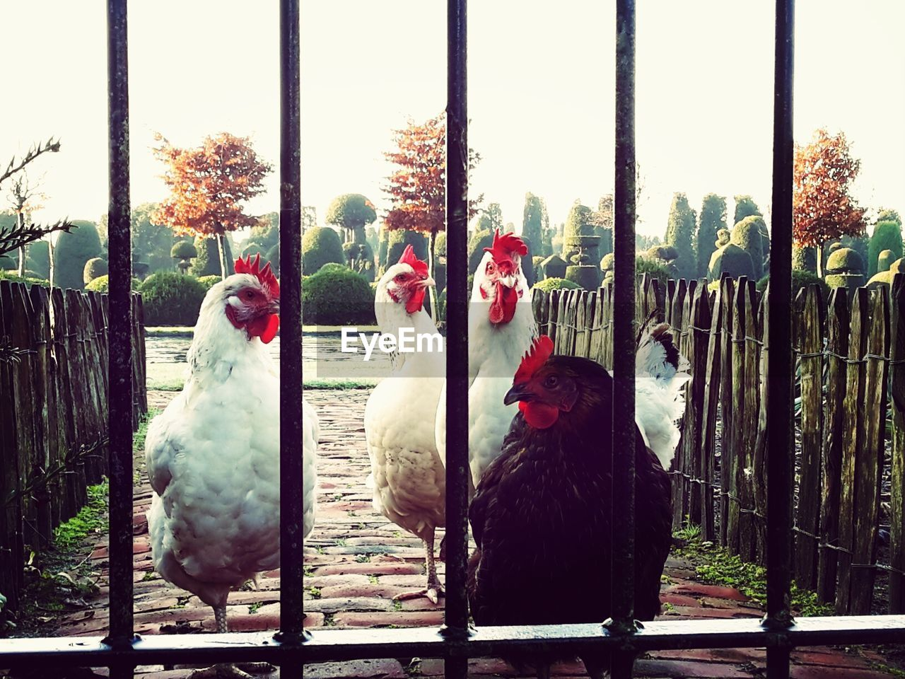 bird, chicken - bird, animal themes, livestock, domestic animals, day, tree, nature, rooster, no people, outdoors, close-up