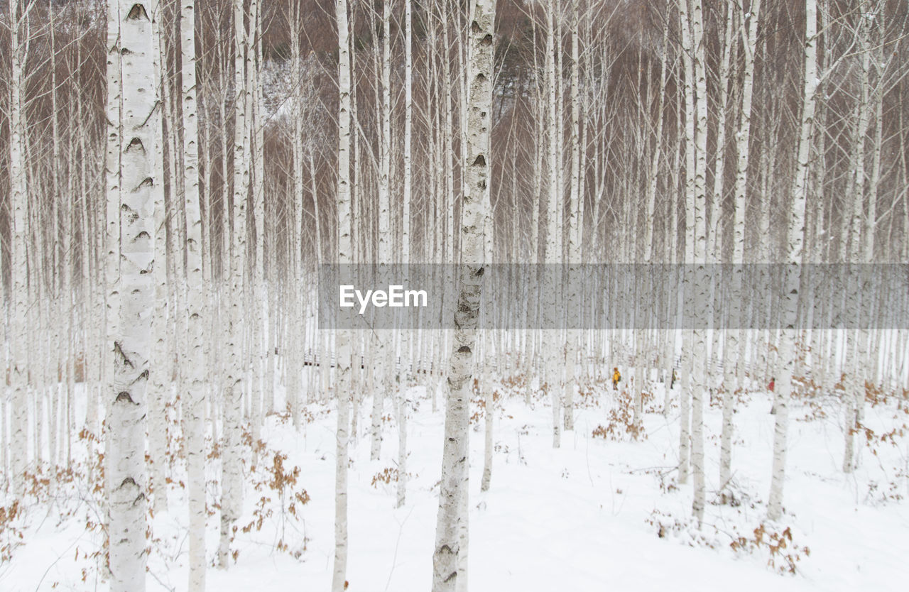 Trees on snow at forest