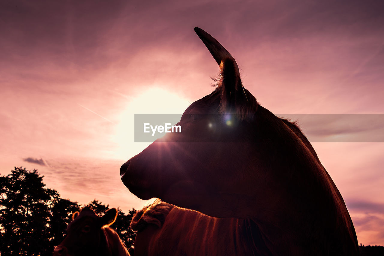 Cow Standing Against Sky During Sunset