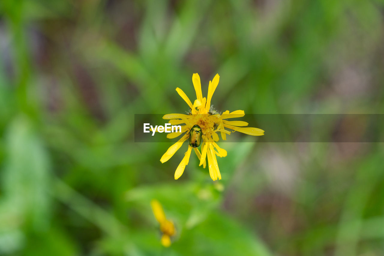 flower, flowering plant, plant, fragility, vulnerability, beauty in nature, yellow, freshness, growth, petal, flower head, close-up, inflorescence, nature, selective focus, no people, outdoors, day, focus on foreground, green color, pollen