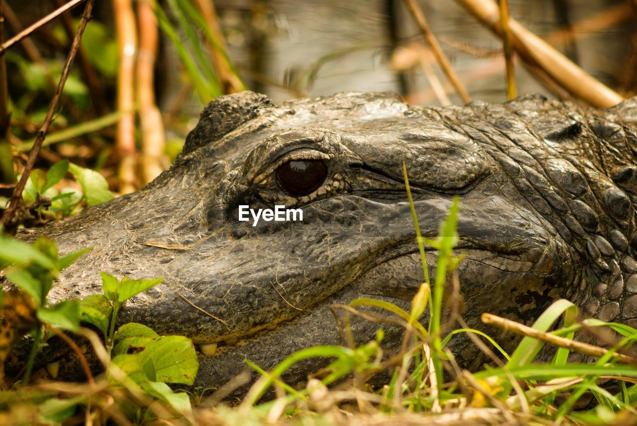 animal themes, one animal, animal, animal wildlife, animals in the wild, vertebrate, reptile, animal body part, close-up, day, nature, no people, crocodile, animal head, selective focus, looking, plant, outdoors, field, plant part, iguana, animal eye, animal scale