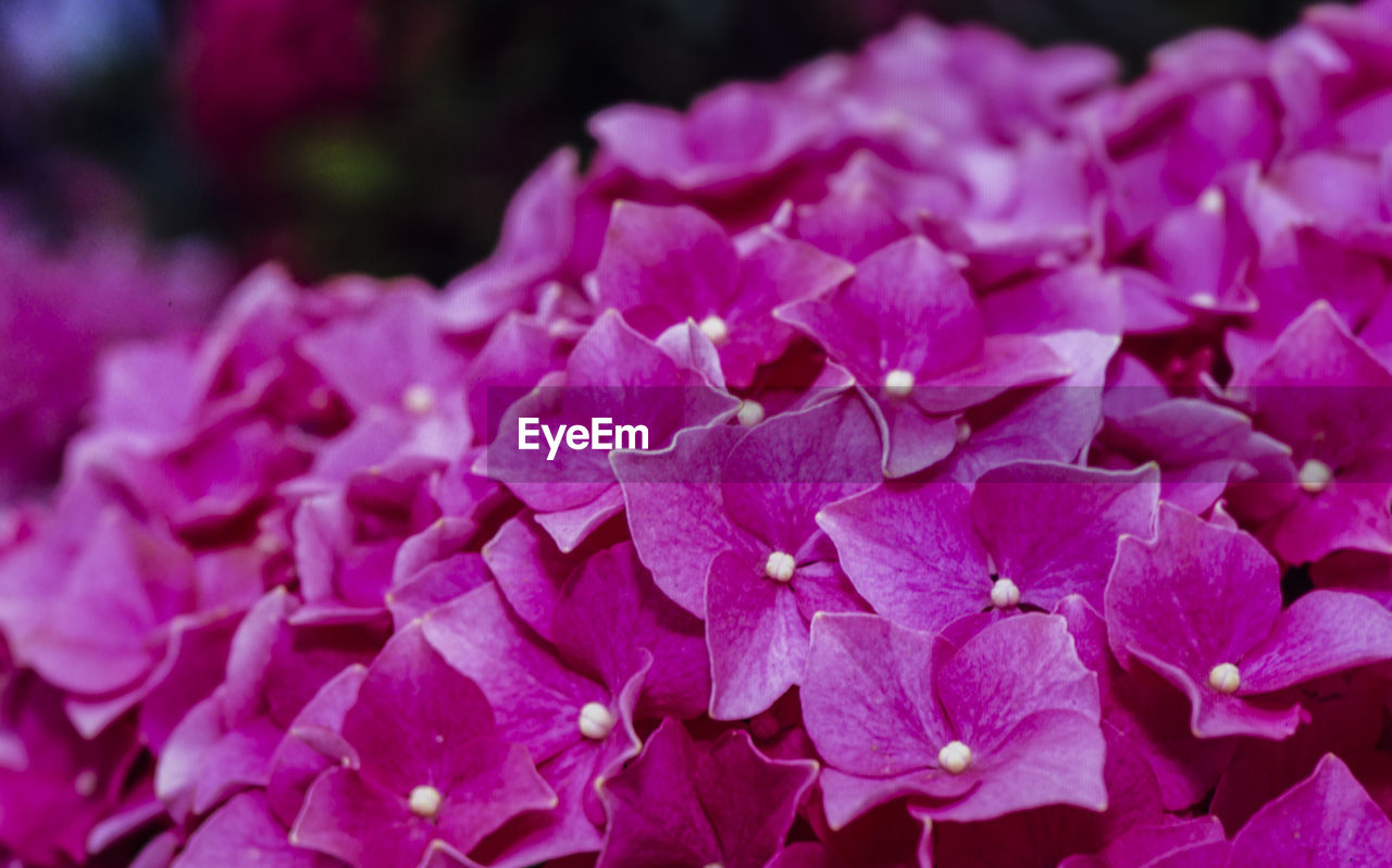 flower, beauty in nature, petal, freshness, flowering plant, fragility, vulnerability, plant, pink color, close-up, inflorescence, flower head, growth, hydrangea, nature, no people, focus on foreground, purple, outdoors, selective focus, springtime, lilac, bunch of flowers