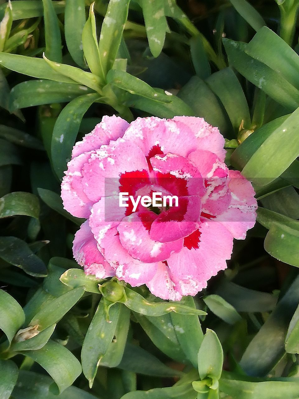 growth, plant, flower, petal, nature, beauty in nature, flower head, pink color, outdoors, no people, green color, fragility, leaf, day, blooming, freshness, water, close-up