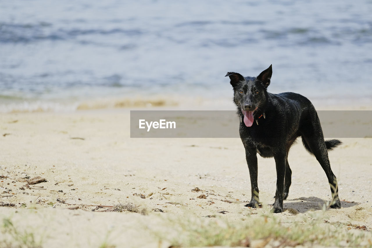 one animal, animal, domestic, animal themes, pets, mammal, domestic animals, dog, canine, land, beach, vertebrate, water, black color, sea, sand, nature, day, motion, no people, mouth open, animal mouth