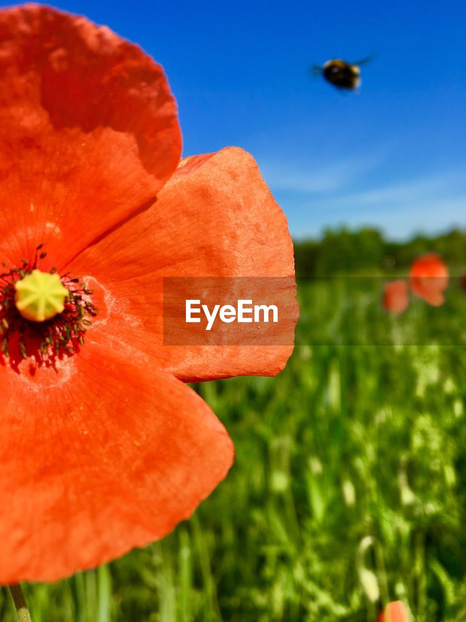 flower, petal, nature, growth, beauty in nature, flower head, orange color, fragility, plant, freshness, no people, outdoors, day, close-up, blooming, red, poppy, sky