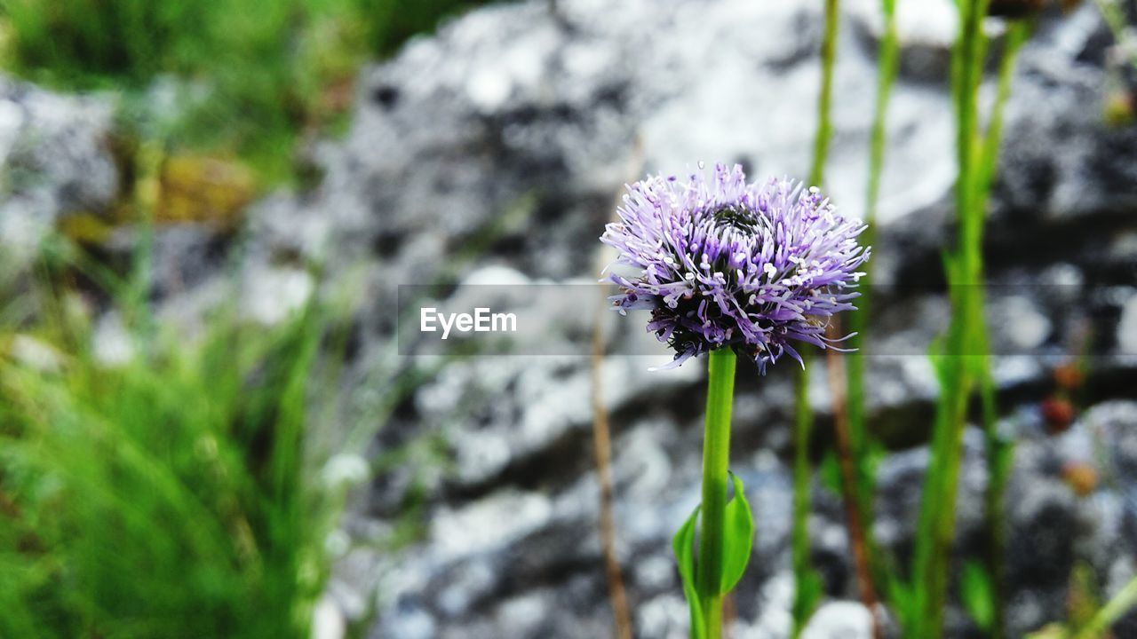 flower, nature, fragility, beauty in nature, growth, purple, plant, focus on foreground, day, freshness, petal, flower head, outdoors, no people, selective focus, close-up, blooming, animal themes