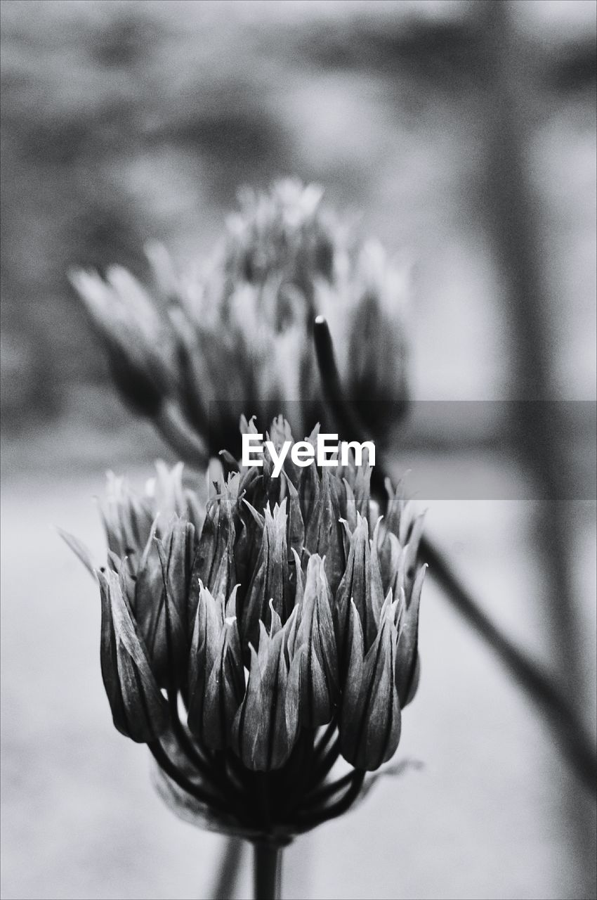 flower, flowering plant, plant, beauty in nature, close-up, vulnerability, growth, fragility, freshness, nature, focus on foreground, flower head, no people, inflorescence, petal, selective focus, day, plant stem, outdoors, bud, sepal, wilted plant