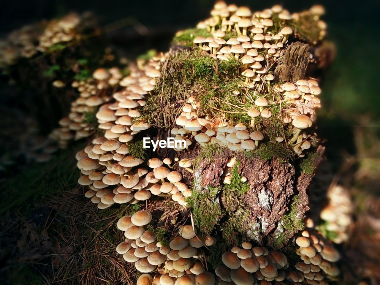CLOSE-UP OF MUSHROOMS IN FOREST