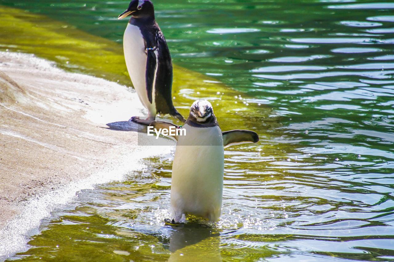 water, bird, animal themes, vertebrate, animal, animals in the wild, animal wildlife, one animal, lake, day, motion, nature, no people, beauty in nature, water bird, duck, waterfront