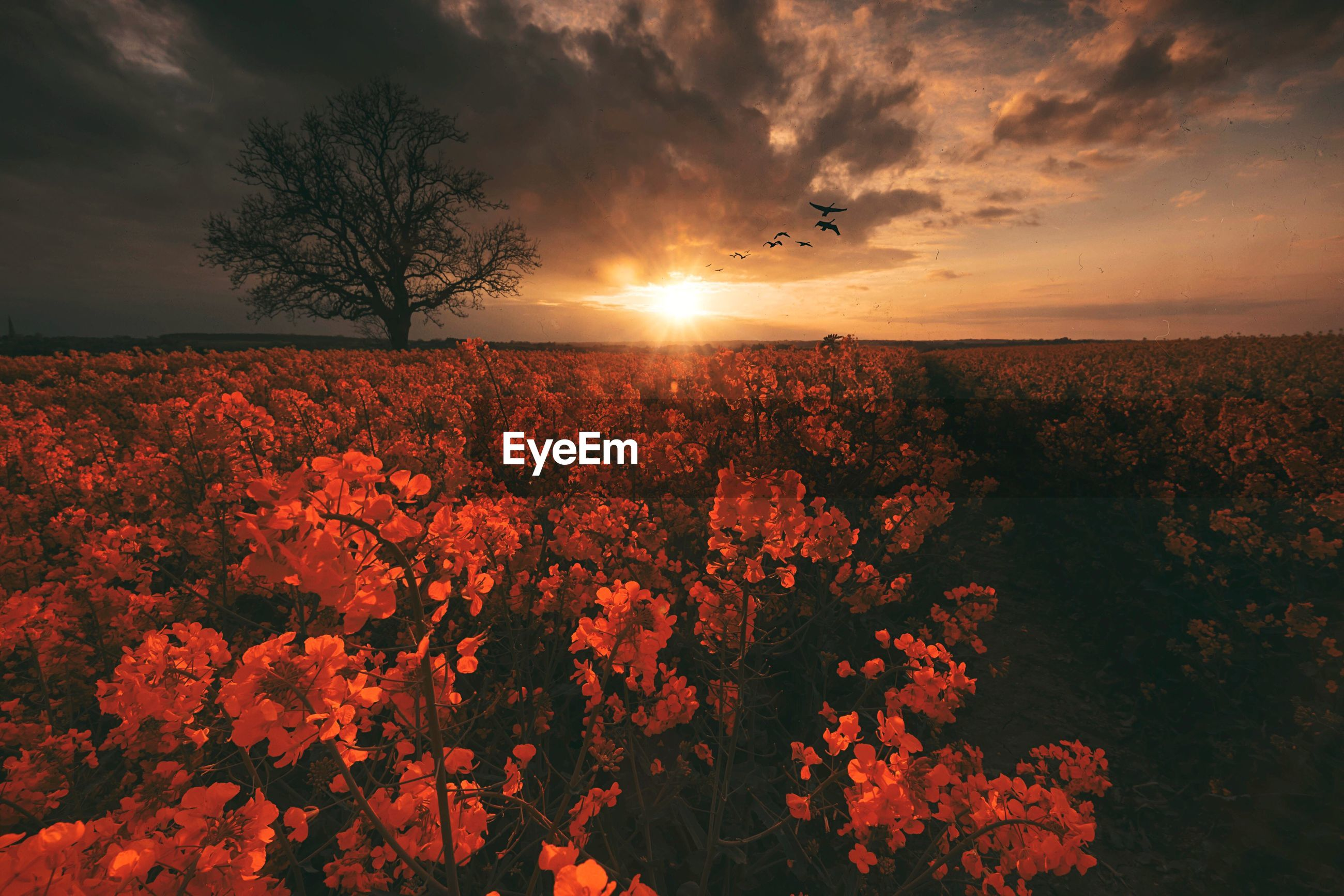 Flowers growing on field against sky at sunset