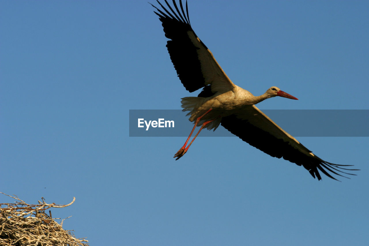 flying, animals in the wild, animal themes, animal, animal wildlife, sky, bird, vertebrate, spread wings, clear sky, one animal, low angle view, blue, mid-air, no people, nature, copy space, day, motion, beauty in nature, stork