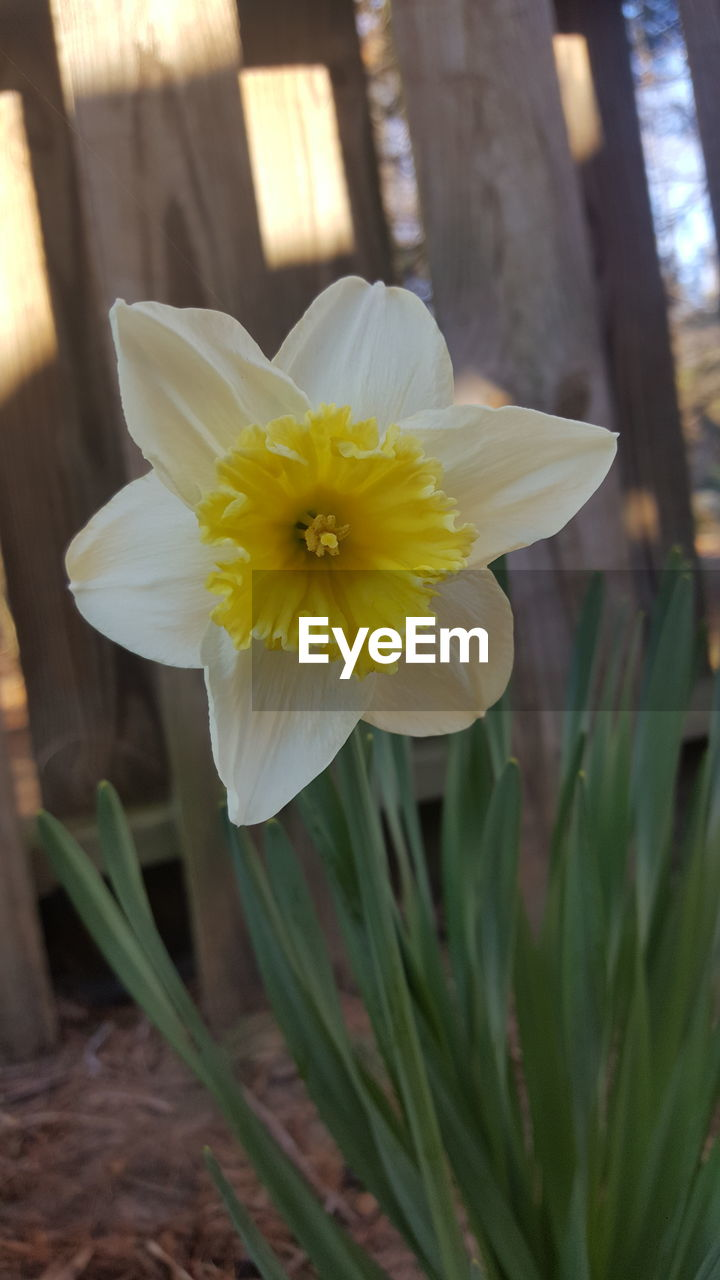 flower, petal, fragility, flower head, beauty in nature, nature, freshness, white color, growth, yellow, day, close-up, focus on foreground, daffodil, plant, blooming, no people, outdoors