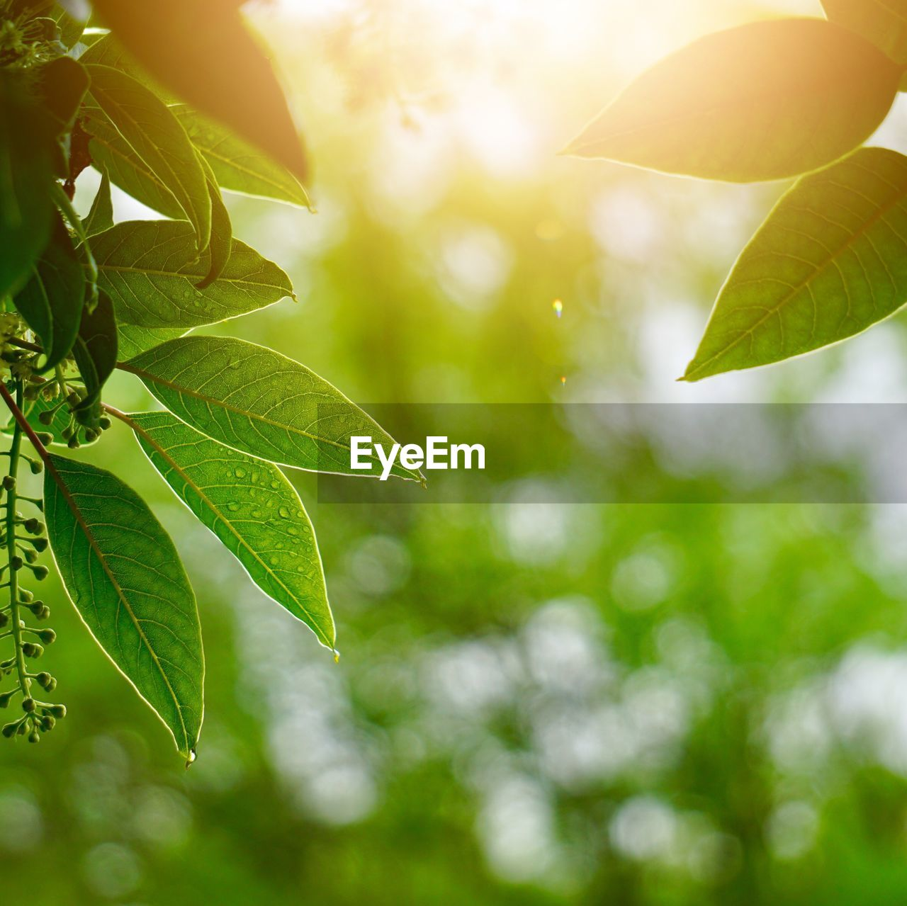 leaf, plant part, plant, growth, green color, nature, close-up, beauty in nature, focus on foreground, sunlight, tree, no people, day, freshness, leaves, outdoors, selective focus, tranquility, branch, lens flare