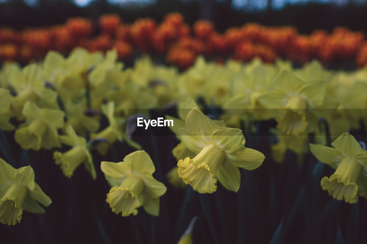 flower, growth, plant, flowering plant, beauty in nature, freshness, vulnerability, fragility, close-up, no people, petal, flower head, inflorescence, nature, focus on foreground, yellow, field, day, land, tranquility, flowerbed