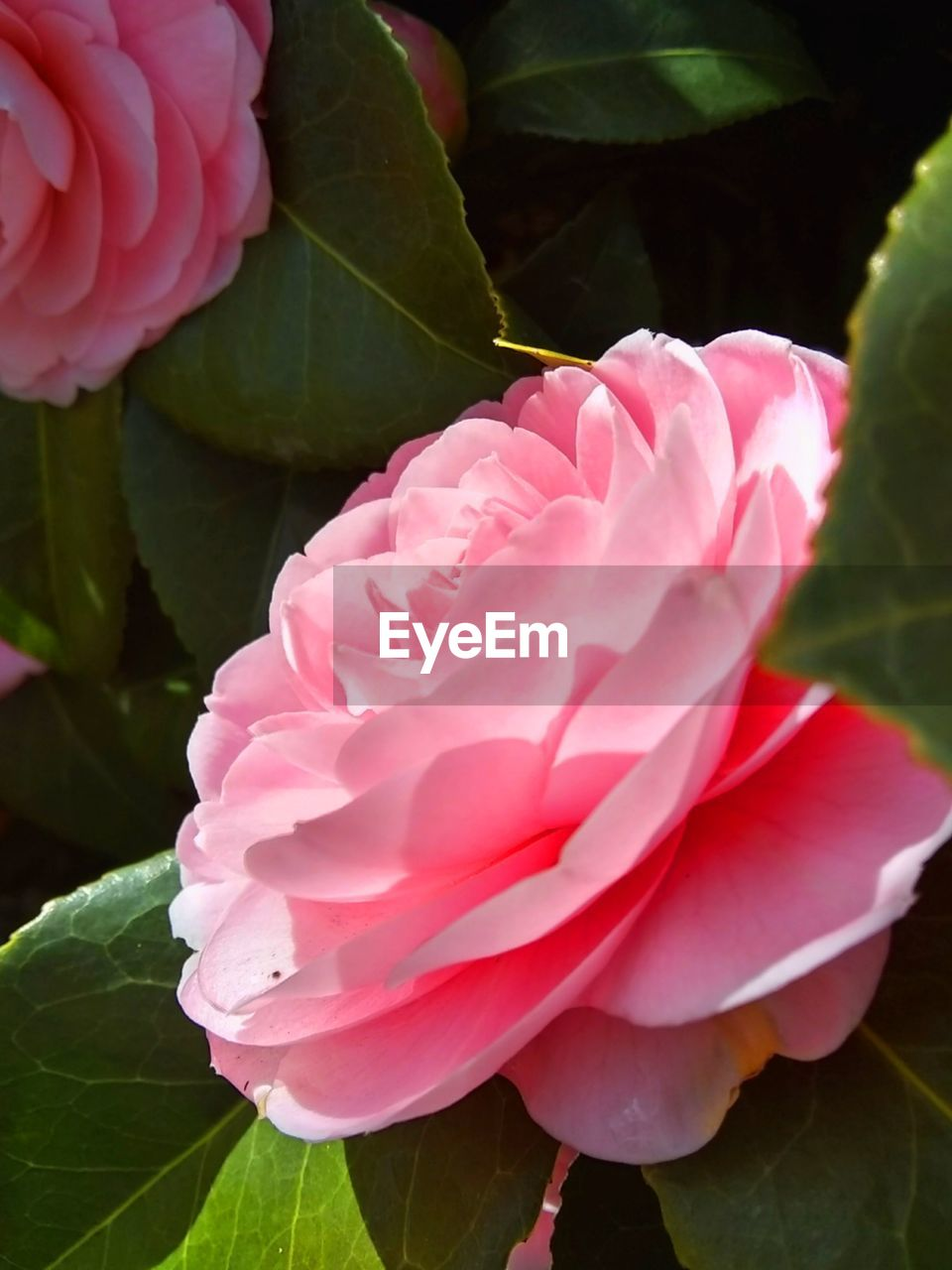 flower, flowering plant, beauty in nature, plant, freshness, petal, vulnerability, fragility, pink color, close-up, inflorescence, flower head, leaf, plant part, growth, nature, day, no people, rose, outdoors