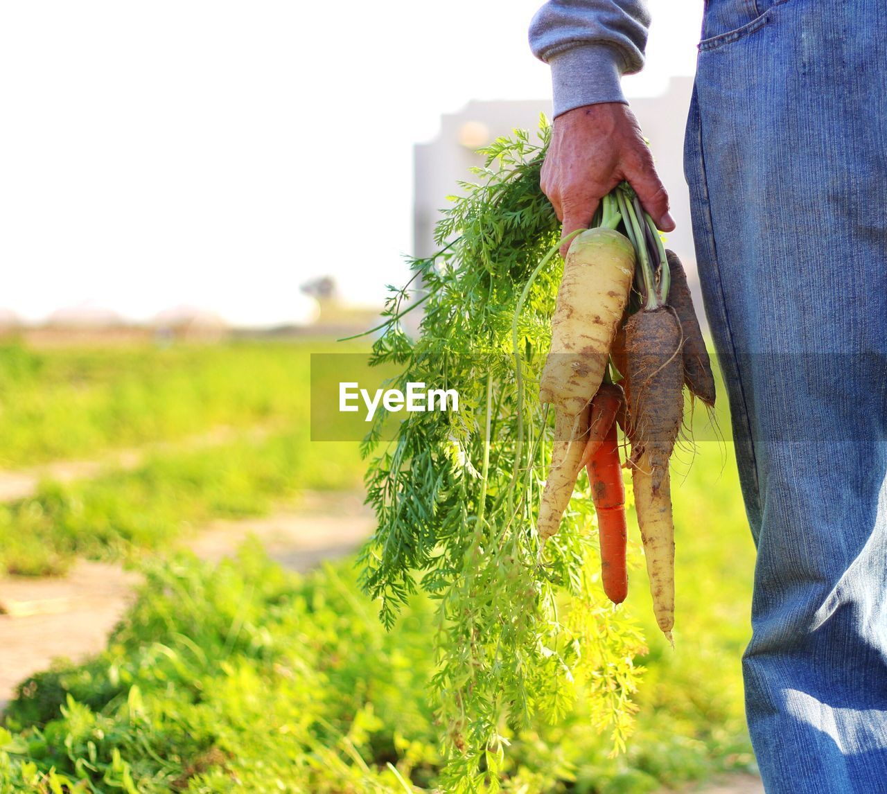 Midsection of man holding carrots on field