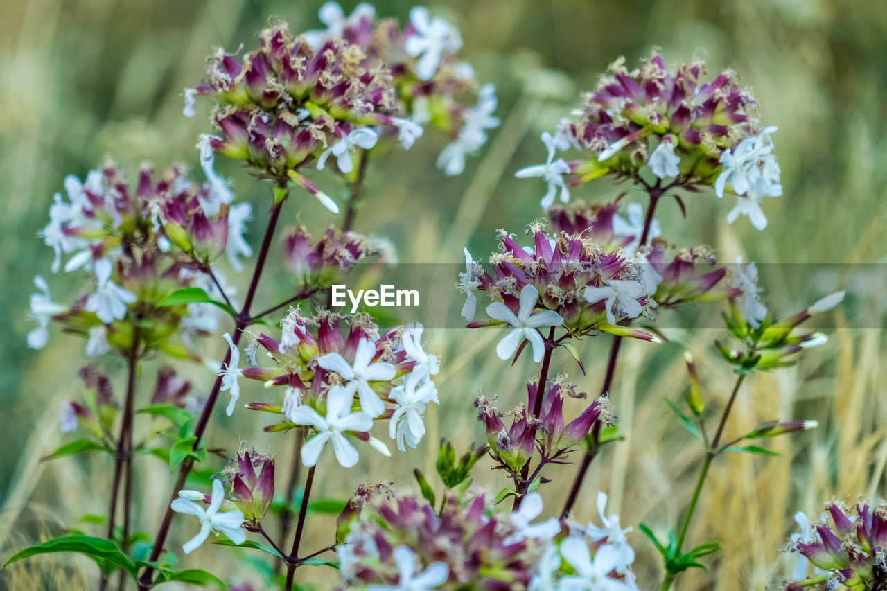flowering plant, flower, plant, vulnerability, freshness, beauty in nature, fragility, growth, petal, close-up, nature, selective focus, no people, flower head, inflorescence, day, pink color, outdoors, plant stem, purple, lilac
