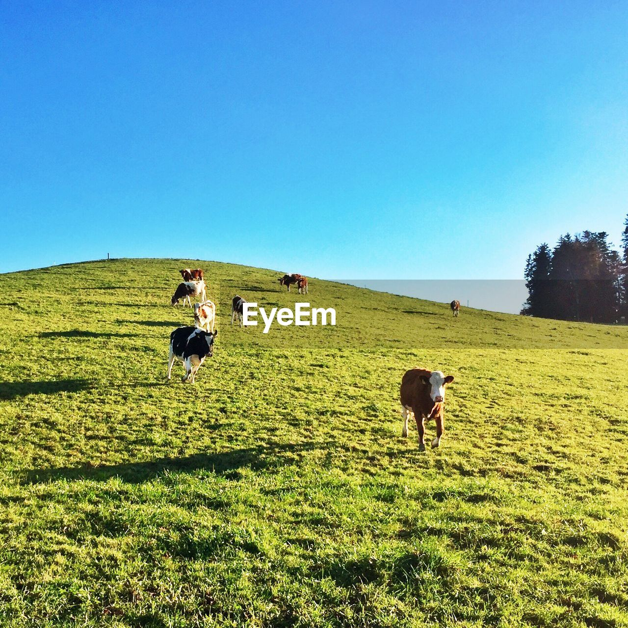 Cows on grassy hill against sky