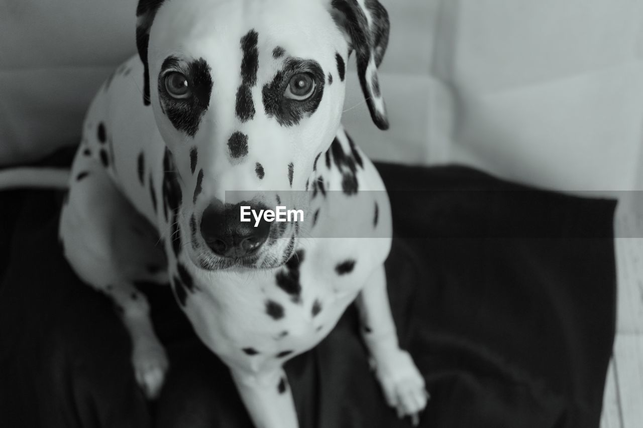 dog, canine, one animal, dalmatian dog, pets, domestic, domestic animals, mammal, animal themes, animal, indoors, portrait, spotted, vertebrate, no people, looking at camera, focus on foreground, home interior, close-up, furniture, purebred dog