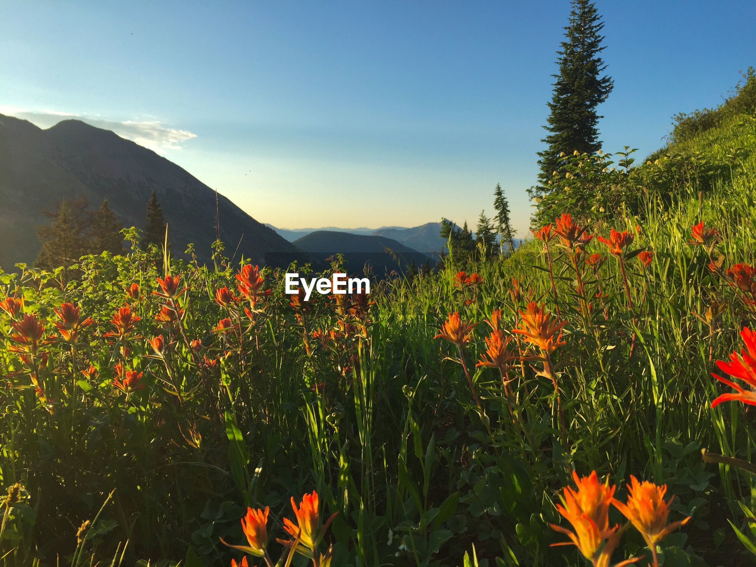 FLOWERS BLOOMING AGAINST MOUNTAINS