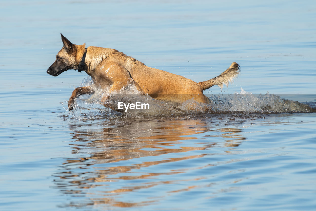 DOG RUNNING IN THE WATER