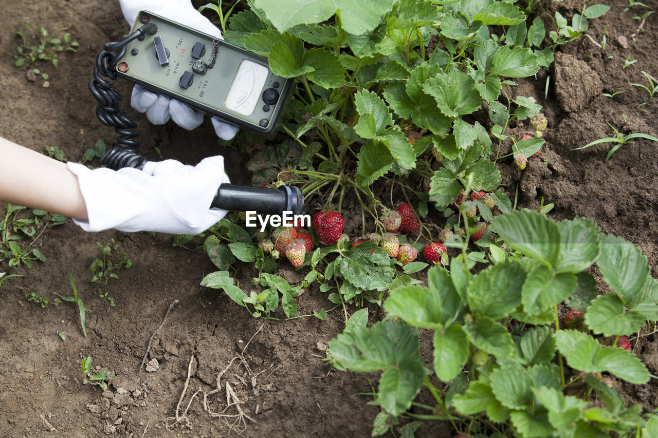 Cropped hands of person examining strawberry growing in farm