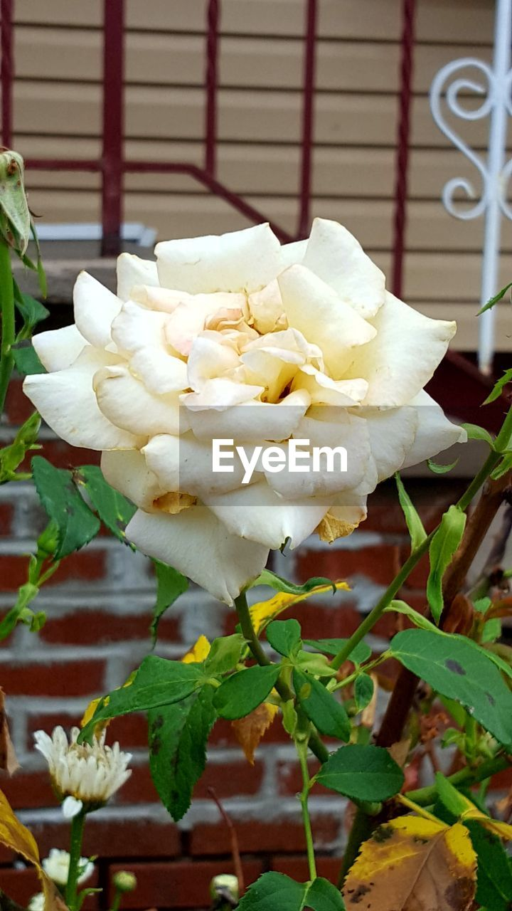flower, white color, freshness, nature, petal, no people, fragility, leaf, beauty in nature, plant, day, rose - flower, close-up, growth, flower head, outdoors