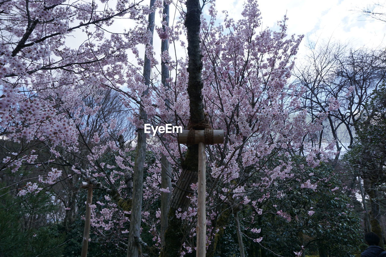 tree, flower, branch, low angle view, growth, blossom, no people, nature, day, beauty in nature, pink color, springtime, outdoors, fragility, sky, freshness