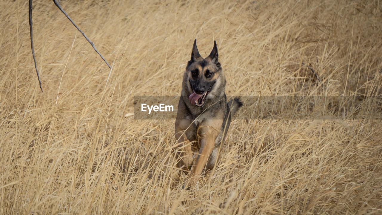 PORTRAIT OF A DOG RUNNING ON GRASS