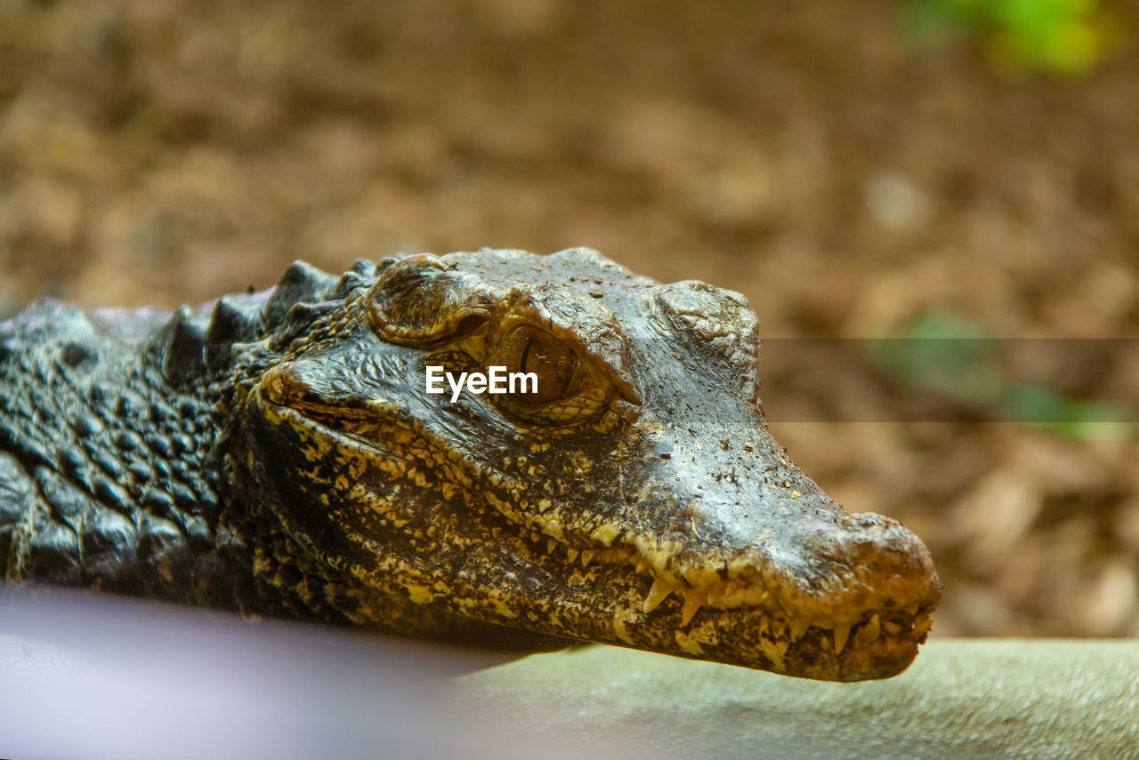 animal themes, animal, one animal, reptile, animal wildlife, close-up, animals in the wild, animal body part, vertebrate, crocodile, no people, animal head, selective focus, nature, amphibian, day, focus on foreground, frog, solid, outdoors, animal eye, animal scale
