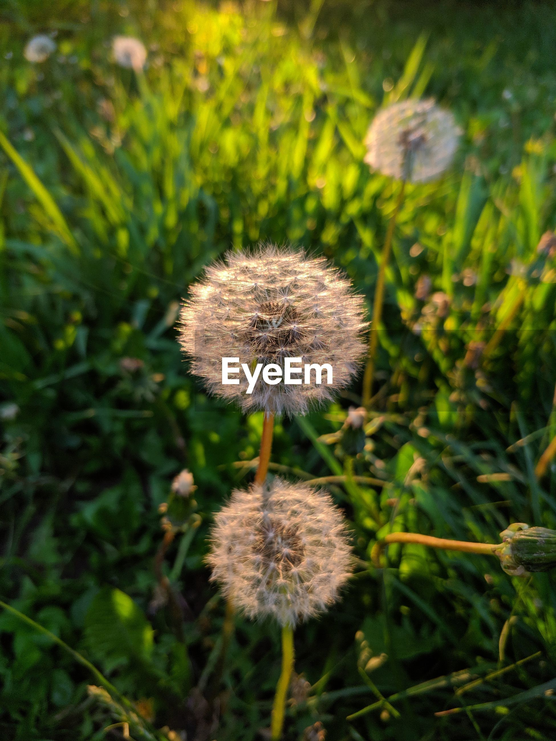 CLOSE-UP OF DANDELION GROWING ON FIELD