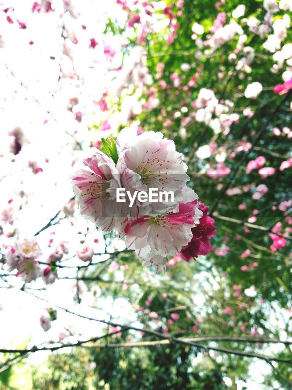 flower, blossom, fragility, growth, nature, pink color, white color, freshness, apple blossom, beauty in nature, petal, springtime, botany, tree, flower head, branch, stamen, spring, no people, blooming, pollen, day, plum blossom, close-up, outdoors, low angle view