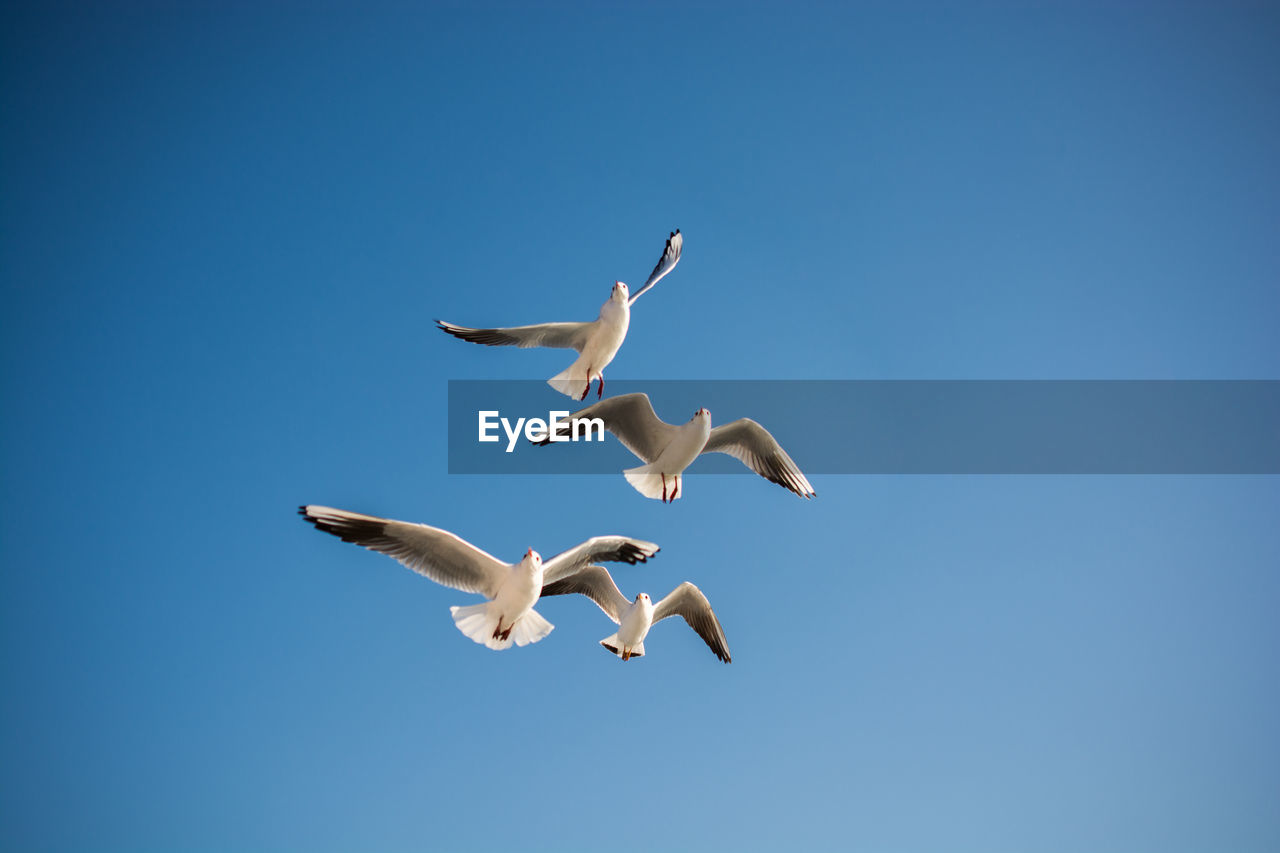 animal wildlife, sky, animal themes, animals in the wild, flying, animal, vertebrate, spread wings, clear sky, group of animals, copy space, bird, blue, mid-air, low angle view, no people, seagull, nature, day, motion, flock of birds