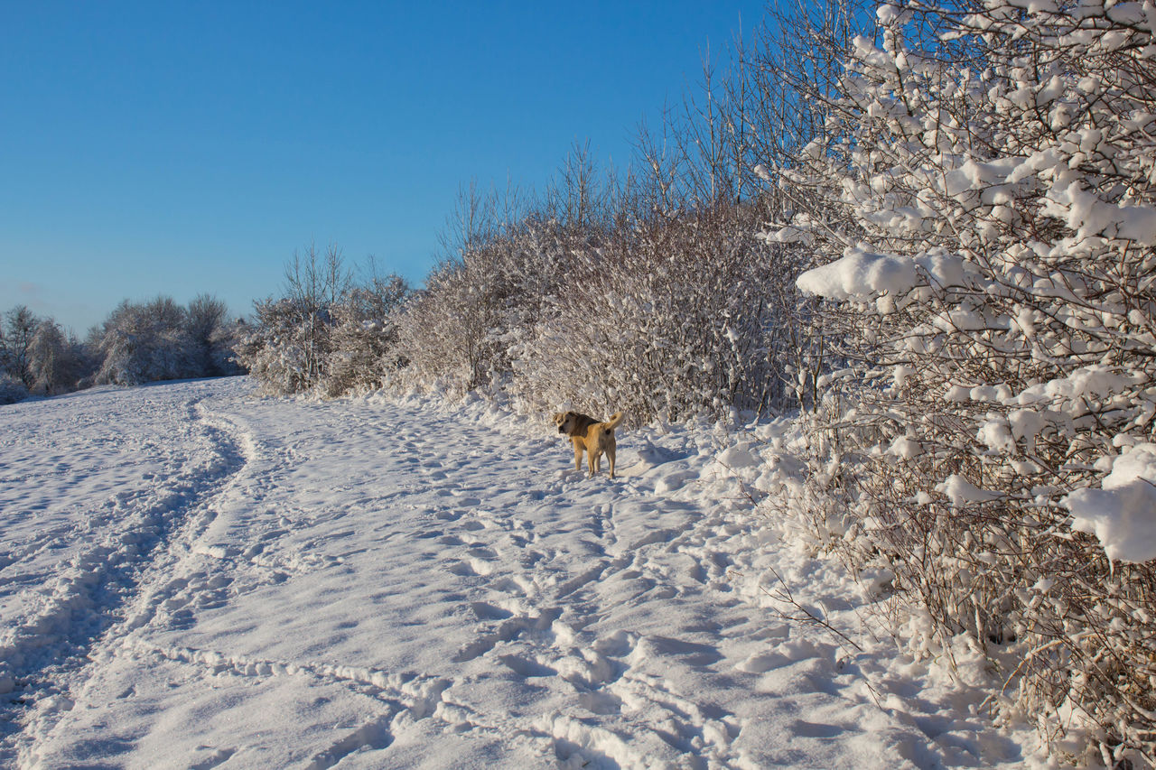 winter, snow, cold temperature, one animal, dog, animal themes, nature, outdoors, field, day, mammal, animals in the wild, no people, pets, full length, clear sky, domestic animals, beauty in nature, tree