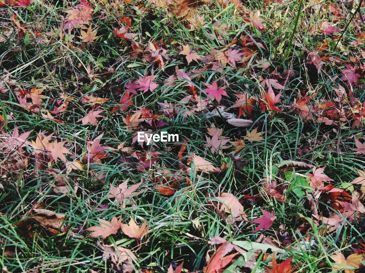 autumn, nature, grass, leaves, field, leaf, change, growth, fallen, outdoors, high angle view, red, beauty in nature, day, no people, close-up