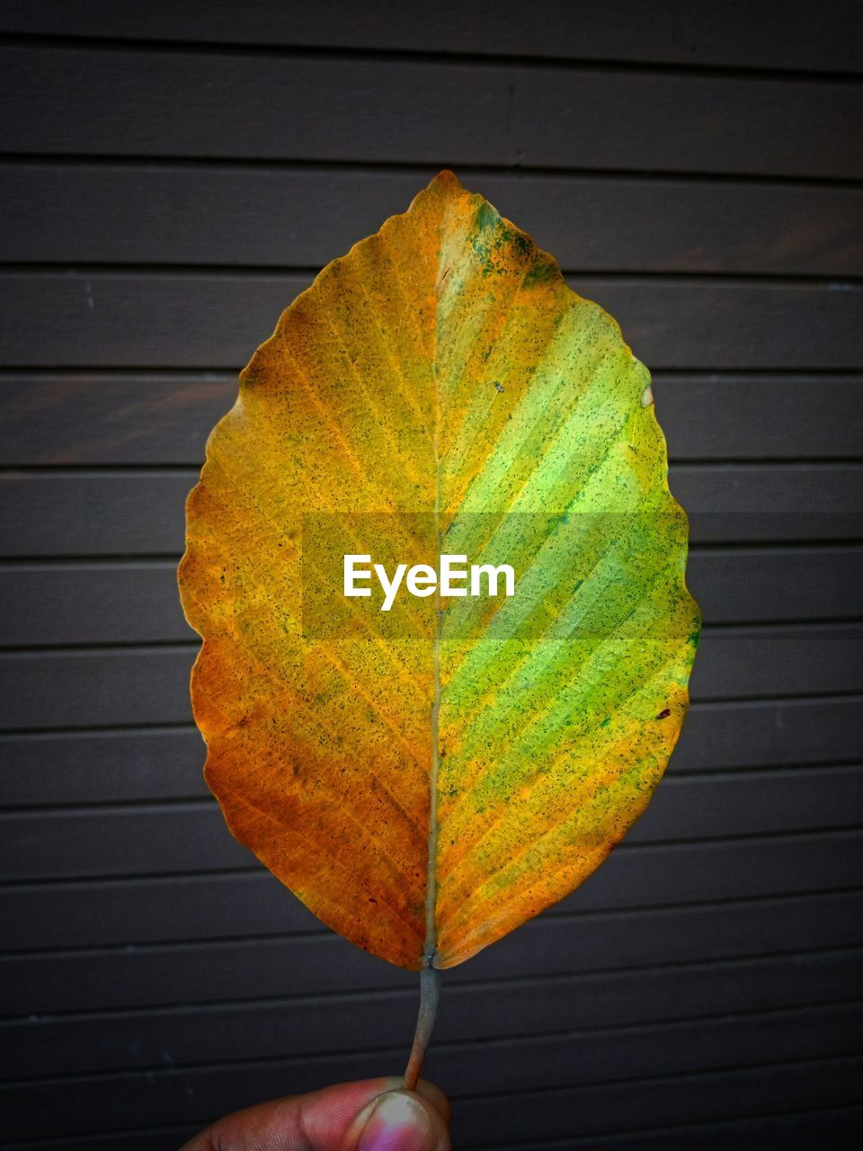 human hand, human body part, leaf, plant part, hand, one person, leaf vein, real people, holding, personal perspective, autumn, close-up, unrecognizable person, body part, nature, lifestyles, change, human finger, finger, natural pattern, outdoors, maple leaf