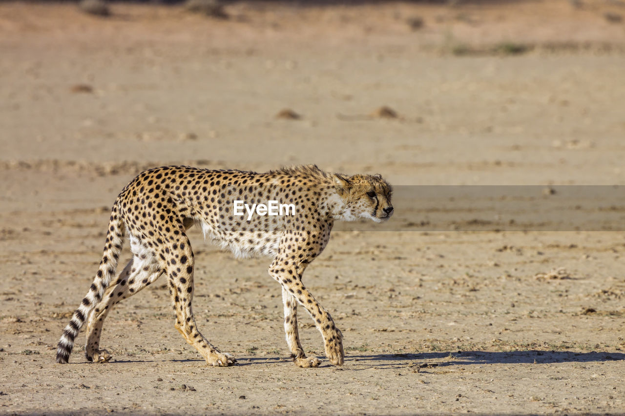 CAT RUNNING ON GROUND