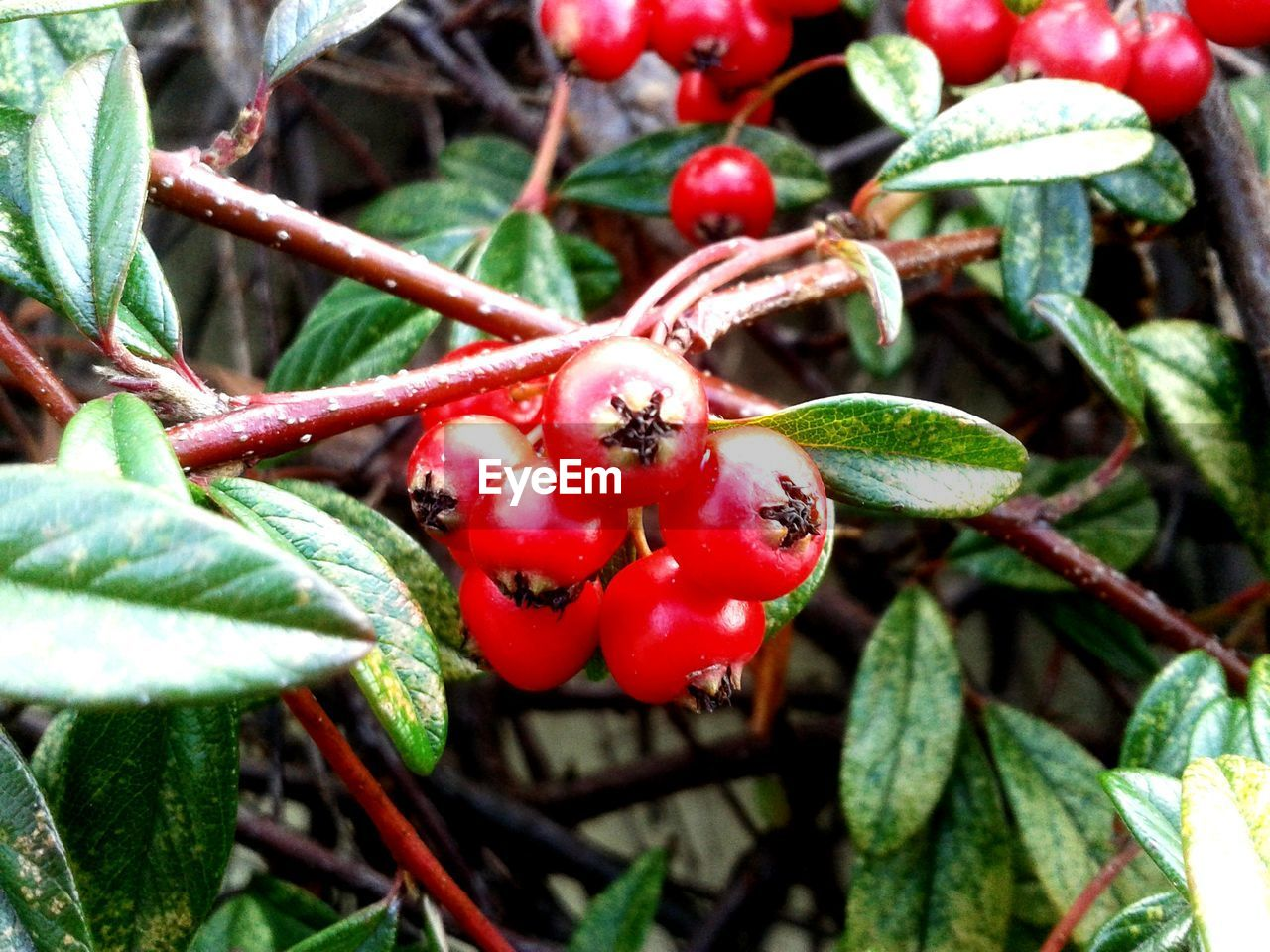 red, food and drink, growth, nature, rose hip, plant, fruit, growing, green color, food, leaf, outdoors, day, close-up, no people, beauty in nature, focus on foreground, tree, freshness, branch