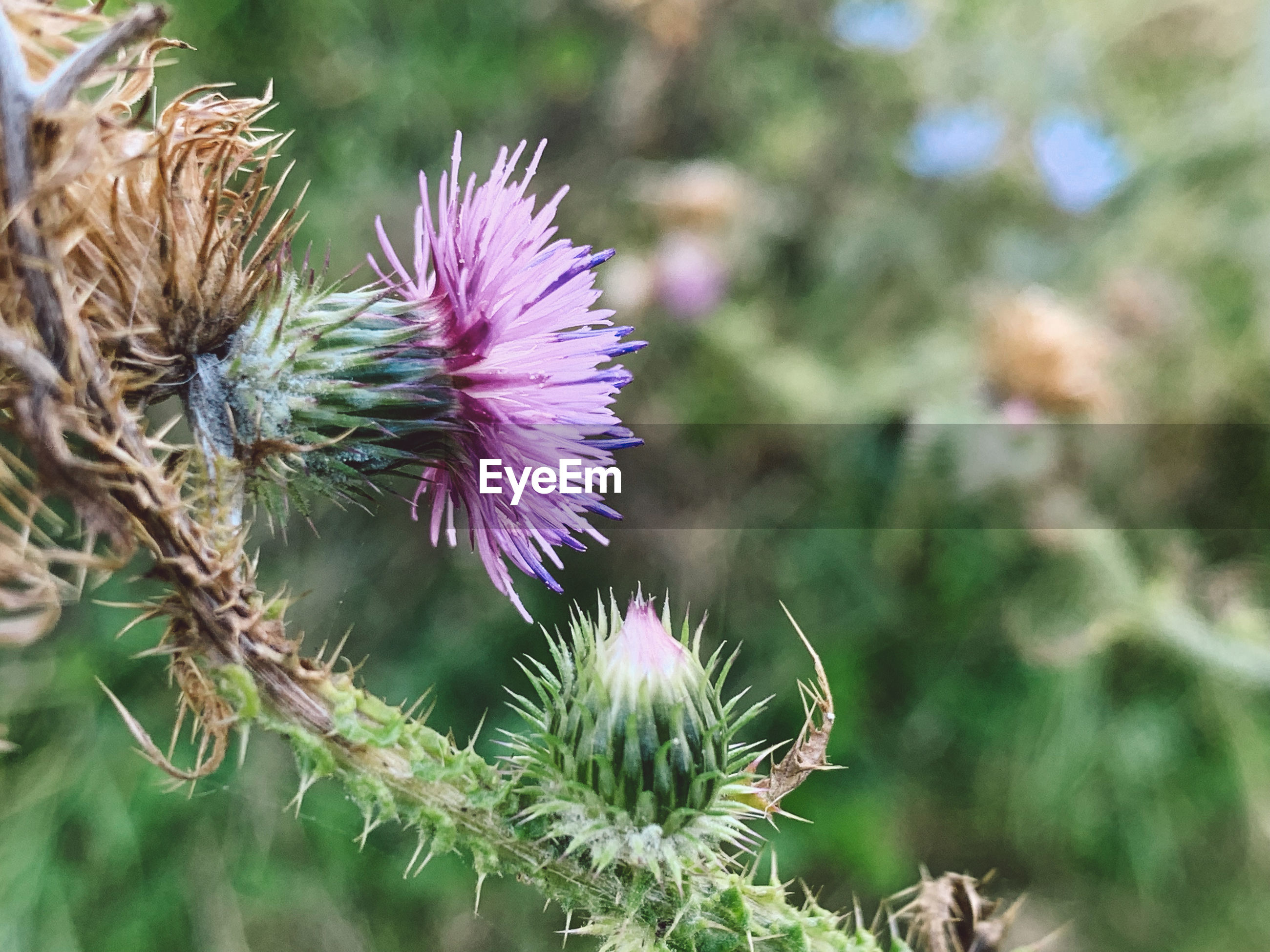 CLOSE-UP OF THISTLE AGAINST PURPLE FLOWER