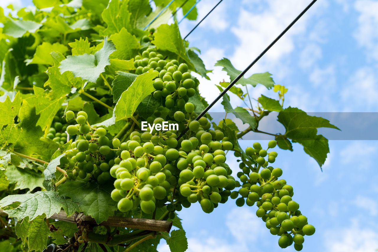 green color, food and drink, growth, healthy eating, plant, food, fruit, freshness, nature, vineyard, sky, grape, agriculture, plant part, leaf, vine, no people, beauty in nature, day, low angle view, outdoors, winemaking, plantation