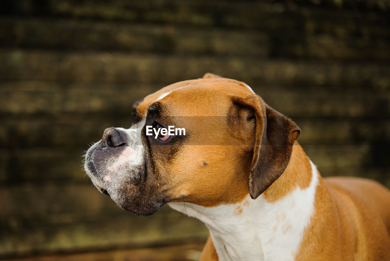 Close-Up Of Contemplating Boxer Dog